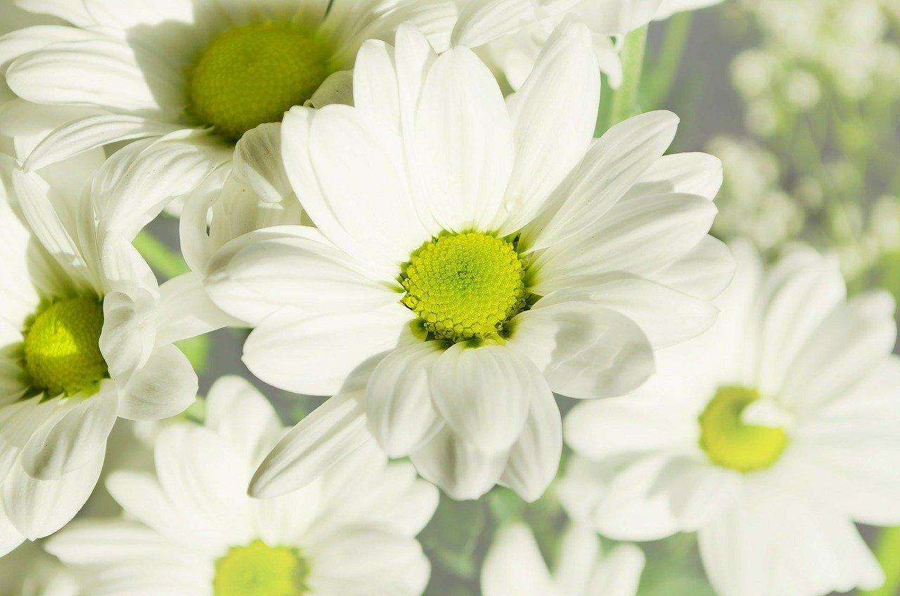 Fleurs blanches : top 20 des plus belles variétés